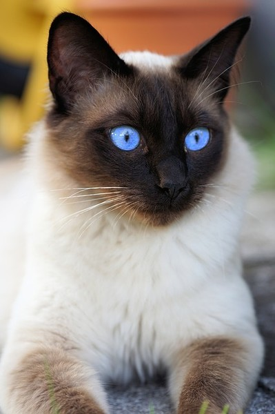 Cat Breeds That Are Just Purr Fect For Your Lifestyle It S Rosy